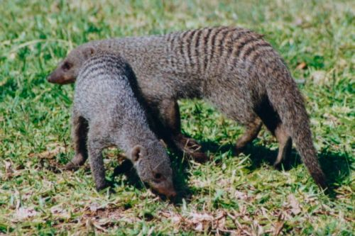 Banded mongoose. Can I keep one, Mom? Please? I won't kill him like the gerbil. Or the goldfish. Or, um, the dog.